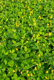 Small yellow flower  Pinto Peanut plant Stock Image