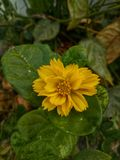 A small yellow flower. Small yellow flower green garden plant tropical royalty free stock photography