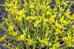Small yellow flowers Stock Photo