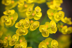 Small and yellow flowers Royalty Free Stock Photo