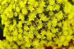 Small yellow flowers Stock Image