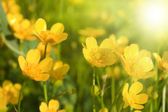 Small yellow flowers Royalty Free Stock Photography