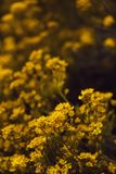 Small yellow flowers of aurinia saxatilis in the spring time Royalty Free Stock Image