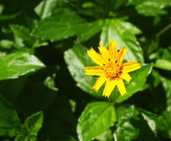 Small yellow flowers bloom. In the light of the sun on the dark green foliage Stock Images