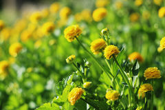 Small yellow flowers. Buttercups in the garden. Selective focus Stock Photo
