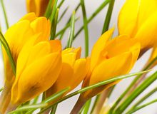 Small yellow flowers crocus Royalty Free Stock Photos