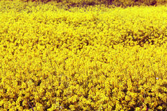 Small yellow flowers in a field Stock Photos