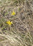 Small yellow flowers in the forest on dry grass. The first flowers in the spring royalty free stock photos