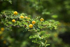 Small yellow flowers on green branch Royalty Free Stock Image