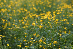 Small yellow flowers on green grass. On a background with a strong blur Royalty Free Stock Images