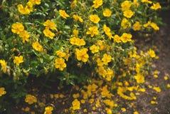 Small yellow flowers. (Helianthemum oelandicum Stock Photo