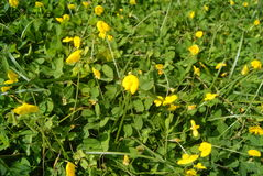 Small yellow flowers on the lawn Royalty Free Stock Image