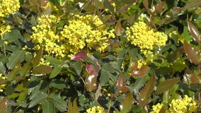 Small yellow flowers mahonia stock footage