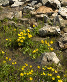 Small yellow flowers in the spring with rocks Royalty Free Stock Photos