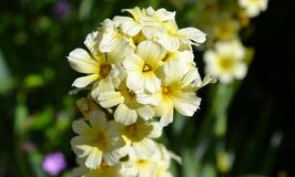 Small yellow flowers Royalty Free Stock Images