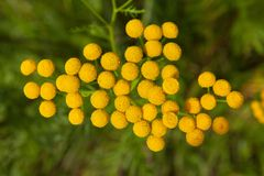 Flowers tansy close-up. Small yellow flowers tansy close-up royalty free stock images