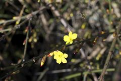 Small yellow flowers in the winter in the park Royalty Free Stock Photos