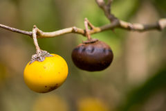 Small yellow fruit on tree Royalty Free Stock Image