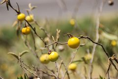 Small yellow fruits of an African plant stock photos