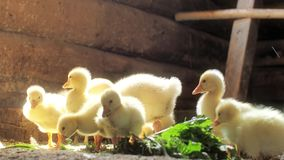 Small yellow geese pluck green grass. Chicks eating. stock video footage