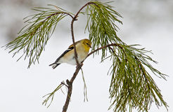 Small yellow goldfitch sits on a pine branch. Stock Photography