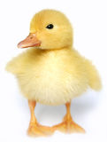 The small yellow goose Royalty Free Stock Photos