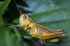 Free Small Yellow Grasshopper Stock Photos - 81118863
