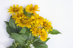 Small yellow July sunflowers Stock Photography