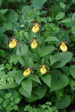 Small Yellow Lady's-Slippers. At Itasca State Park in northern Minnesota Royalty Free Stock Photos