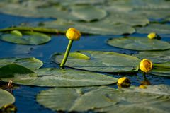 Small Yellow Lotus floating on blue water in Danube Delta royalty free stock images
