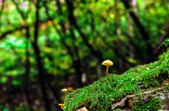 Little fungus growing in green moss at summer forest stock images