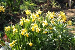 Narcissus Flowers in Springtime in a Garden Royalty Free Stock Photos