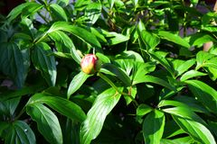 Small yellow opening bud, green dense foliage oa a tropical plant - Garden stock image