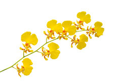 Small yellow orchid Royalty Free Stock Photos