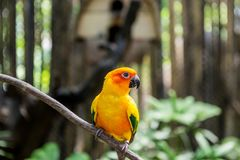 Small yellow parrot in a tropical forest on a Sunny day. The horizontal frame royalty free stock photo