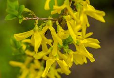 A small yellow plant called forsythia. A small yellow plant called  forsythia grow happily in the garden and absorbs the sun`s rays Royalty Free Stock Photos