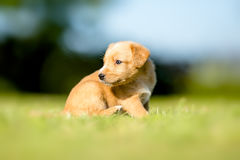 Small yellow puppie. In garden Stock Image