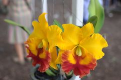 Small yellow-red cattleya orchids Royalty Free Stock Image