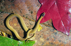 Small yellow snake Royalty Free Stock Image