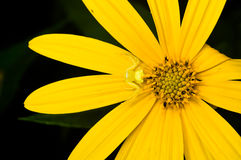 Small Yellow Spider on Mexican Sunflower Closed-up Royalty Free Stock Photo