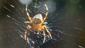European garden spider moving in web stock video