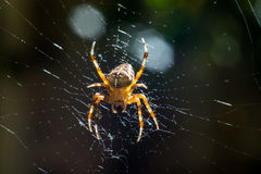 European garden spider. (Araneus diadematus) female Stock Photography