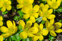 Small yellow spring flowers and bee Royalty Free Stock Photo