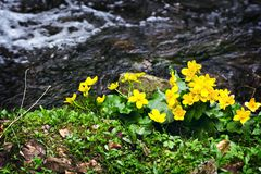 Small, yellow spring flowers in the mountains. Royalty Free Stock Photos