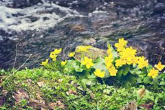 Small, yellow spring flowers in the mountains. Vesennik or Eranthis hyemalis near the river. The first spring flowers, early spring flowers in bloom, winter stock image