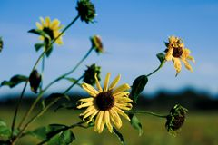 Small yellow sunflowers blooming sideways during summer day royalty free stock photography