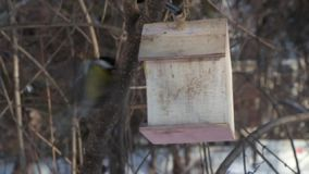 A small yellow tit is flying to a yellow bird and squirrel feeder house from plywood and eating and flying out in winter stock video footage