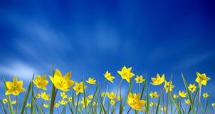 Small yellow tulips Royalty Free Stock Photos