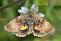 Small yellow underwing moth (Panemeria tenebrata) with hindwings visible. British insect in the family Noctuidae, the largest British family moths in the order Stock Images