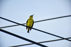 Small Yellow Warbler is on the power line. Royalty Free Stock Image